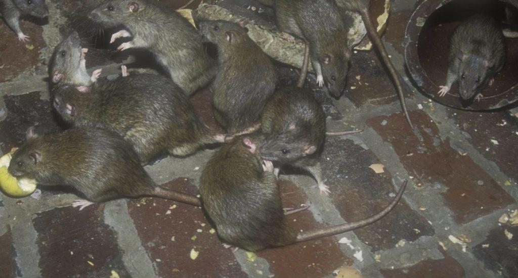 уничтожение крыс в Ельце